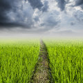 Rice field and rainclouds with space Royalty Free Stock Image