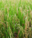 Rice field - ripe for harvest Royalty Free Stock Images