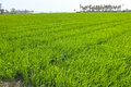 Rice field the scenery of Royalty Free Stock Photo