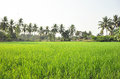 Rice field scenery with coconut trees Stock Photo