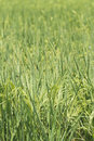 Rice field series green in the sunshine Royalty Free Stock Image