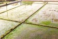 Rice field on sunlight at thailand Royalty Free Stock Photos