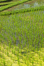 Rice field at a sunny day bali indonesia Royalty Free Stock Photo