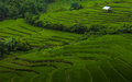 Rice field on terraced. Royalty Free Stock Photography