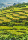 Rice field terraces in vietnam scenic view of green the sapa valley with a worker the background Stock Photography