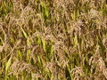 Rice field texture Royalty Free Stock Photography