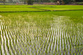 Rice field,Thailand Royalty Free Stock Photography