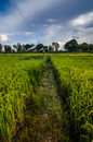 Rice field in thailand in the agriculture industry concept Stock Photography