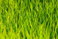 Rice field in thailand paddy green grass Stock Photography