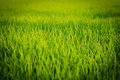 Rice field in thailand paddy green grass Royalty Free Stock Image