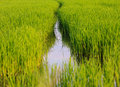 Rice field in thailand paddy green grass Stock Images