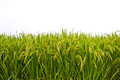 Rice field on white background Royalty Free Stock Photo
