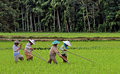 Rice Field Workers in the Harau Valley in West Sumatra, Indonesia Royalty Free Stock Photo