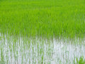 Rice field young on green Royalty Free Stock Images