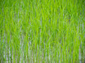 Rice field young on green Royalty Free Stock Photography