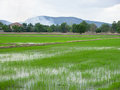Rice field young landscape in countryside of thailand Royalty Free Stock Images