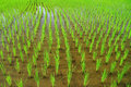 Rice field young sprout in the Royalty Free Stock Photos