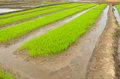 Rice fields in asia green of seedlings at field thailand Stock Photos
