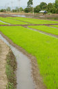 Rice fields in asia green of seedlings at field thailand Stock Images