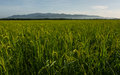 Rice fields with background mountains Royalty Free Stock Photo