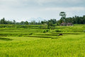 Rice fields in bali beautiful green lush terrace Stock Photos