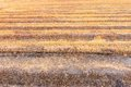 Rice fields after burning of fire in countryside thailand Royalty Free Stock Images