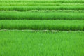 Rice fields close up Royalty Free Stock Photography