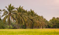 Rice fields coconut trees and Stock Photo
