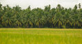 Rice fields coconut trees and Royalty Free Stock Photography