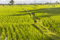 Rice fields in the evening on Bali Royalty Free Stock Photo