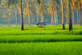 Rice fields of java morning sunlight filters through the palm trees and across the sw indonesia Stock Photography
