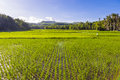 Rice Fields Siquijor Philippines