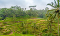 Rice fields terraced in bali Royalty Free Stock Photography