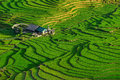 Rice fields on terraced in rainny season at SAPA, Lao Cai, Vietnam. Royalty Free Stock Photo