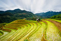 Rice fields on terraced in sunset at Mu Cang Chai, Yen Bai, Vietnam. Royalty Free Stock Photo