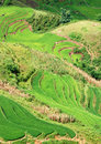 Rice fields in Vietnam Royalty Free Stock Photo