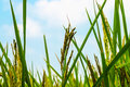 Rice fileds on sunny day Royalty Free Stock Photo