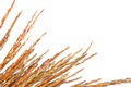 Rice grain and stalks Royalty Free Stock Photo