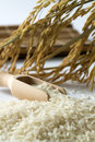 Rice grain with wooden scoop and paddy Stock Image