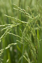 Rice grains ripening on stalk Royalty Free Stock Photography
