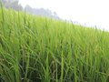 Rice grass ricefield its good for background and screensaver Stock Photography