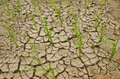 Rice growing on drought land Royalty Free Stock Photo