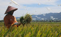 Rice harvest in aceh Royalty Free Stock Photo