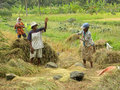 Rice Harvesting Royalty Free Stock Photos