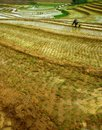 Rice paddies a farm on blora of the are visible good in central java indonesia Stock Photos