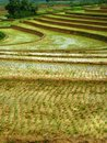Rice paddies a farm on blora of the are visible good in central java indonesia Royalty Free Stock Image