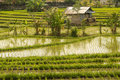 Rice paddies green bali indonesia Stock Image