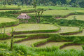 Rice paddies green lombok indonesia Royalty Free Stock Image