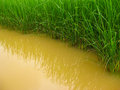 Rice paddies and water are growing Stock Photography
