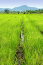 Rice Paddy Royalty Free Stock Photo